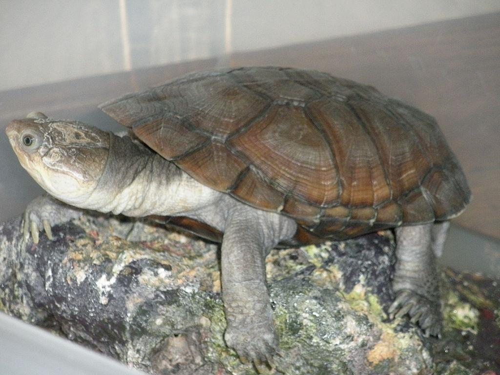 Comment s'appelle cette tortue de plus en plus appréciée ?