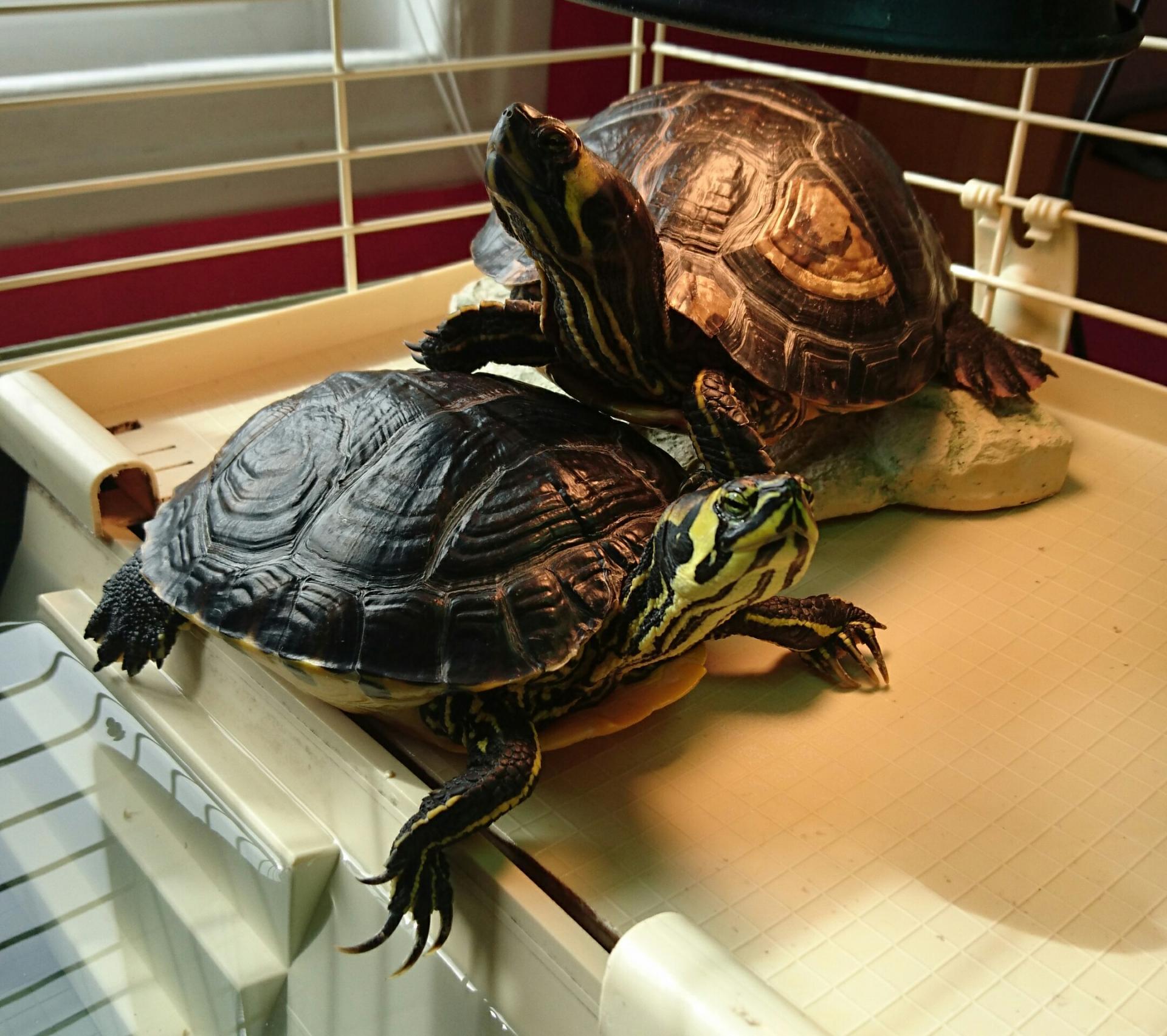 La tortue de devant est...
