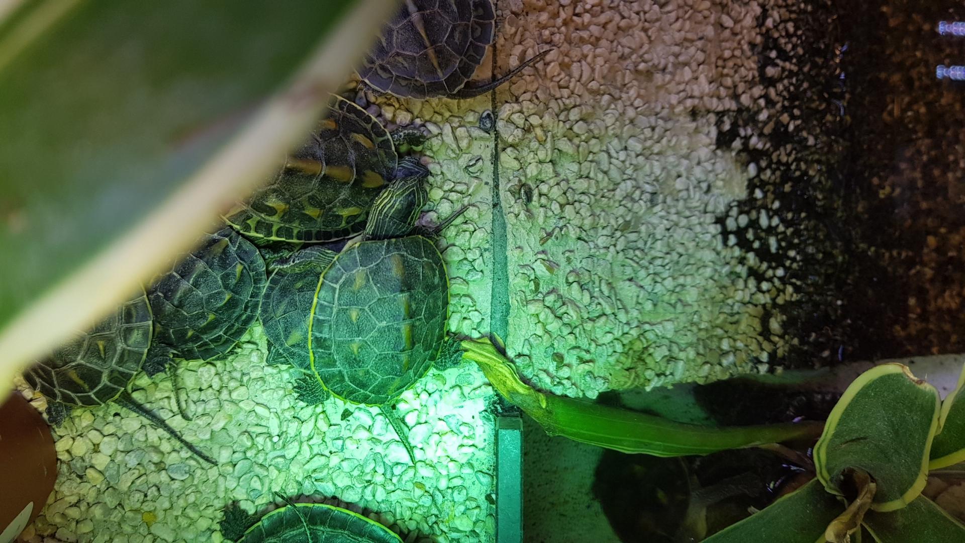 Quelle est l'espèce de ces tortues d'eau ?