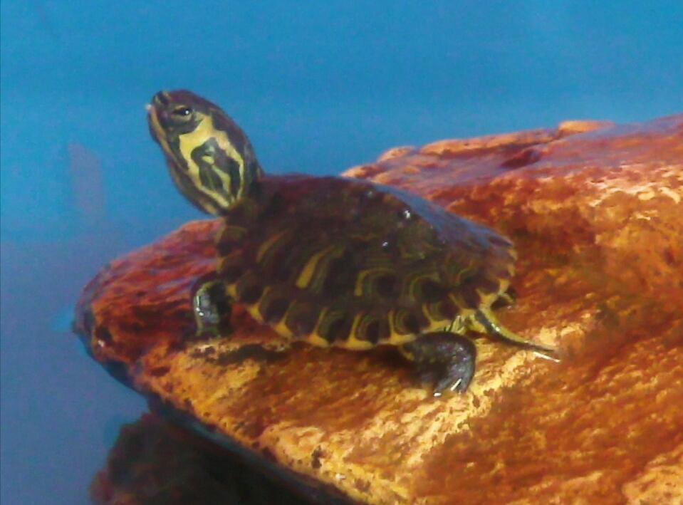 Quelle est l'espèce de cette tortue semi-aquatiques ?