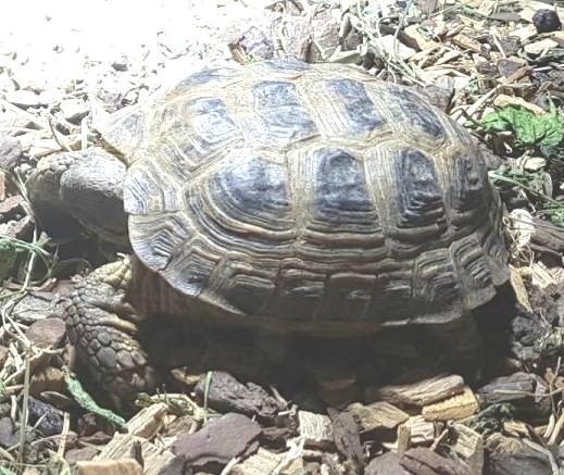 Quelle est la particularité de la tortue de Horsfield ?
