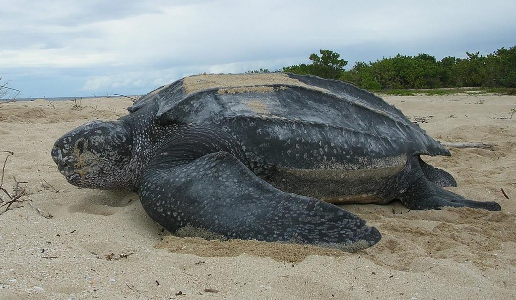 Combien d'œufs pond en moyenne la tortue luth ?