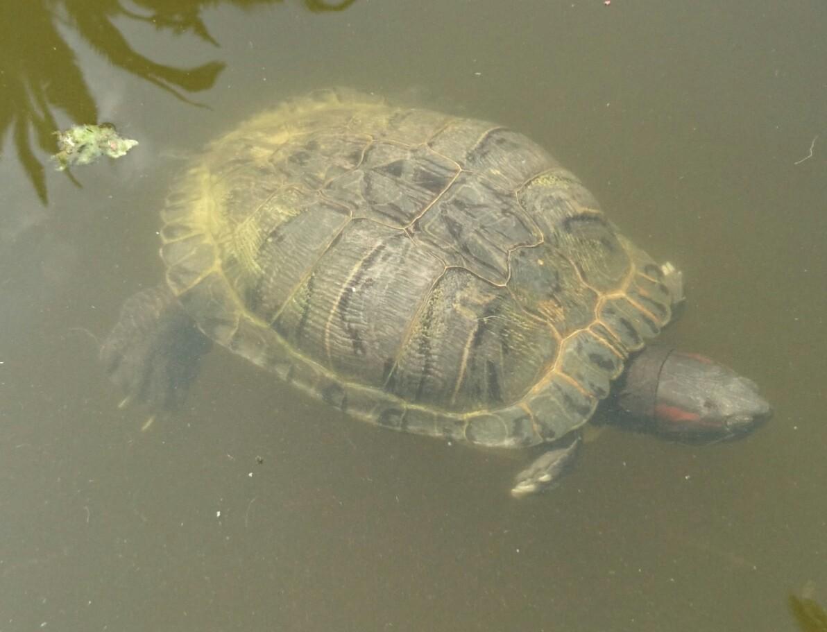 Quelle est la sous-espèce de cette tortue ?