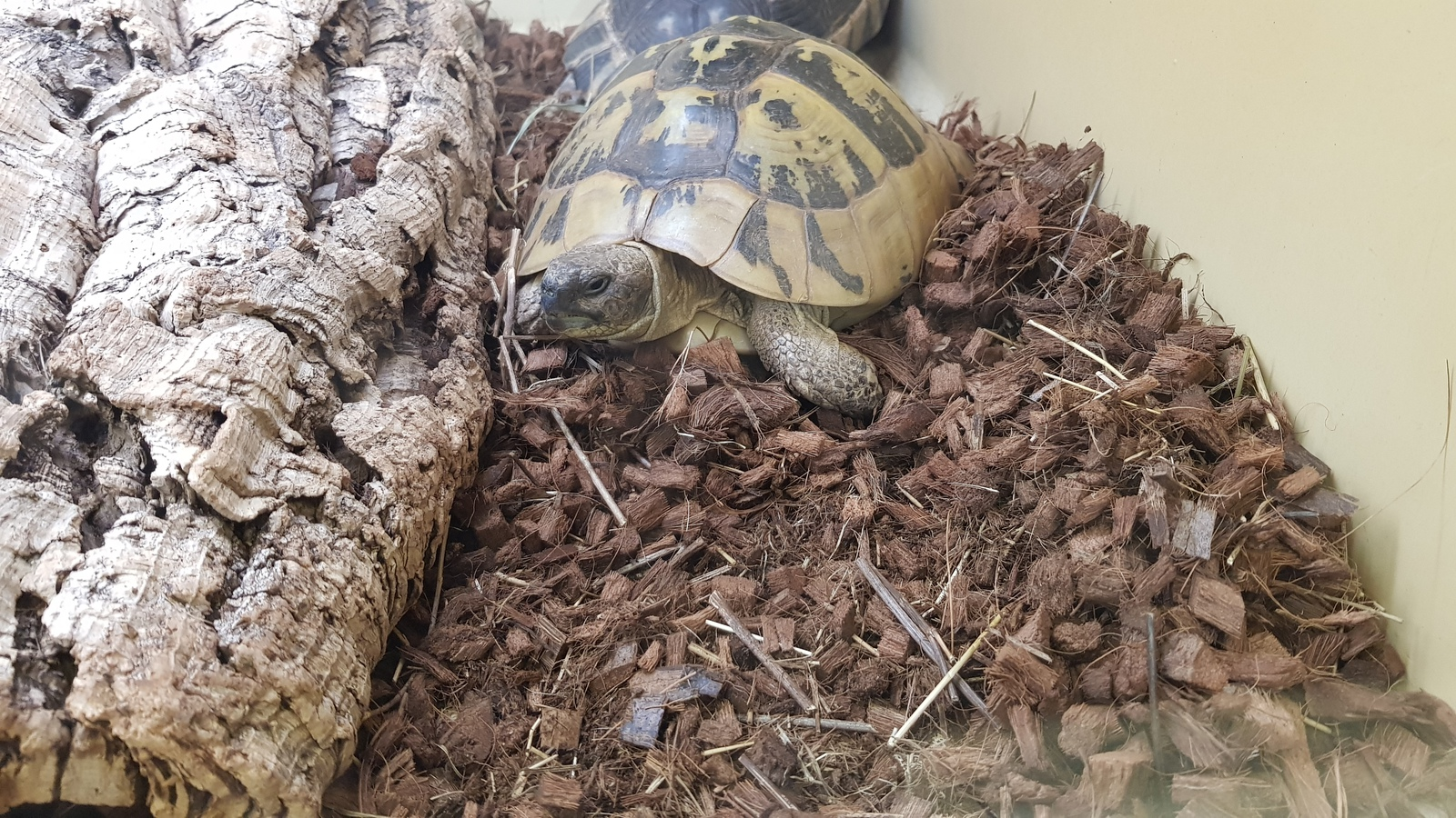 Comment s'appelle cette tortue de plus en plus rare ?
