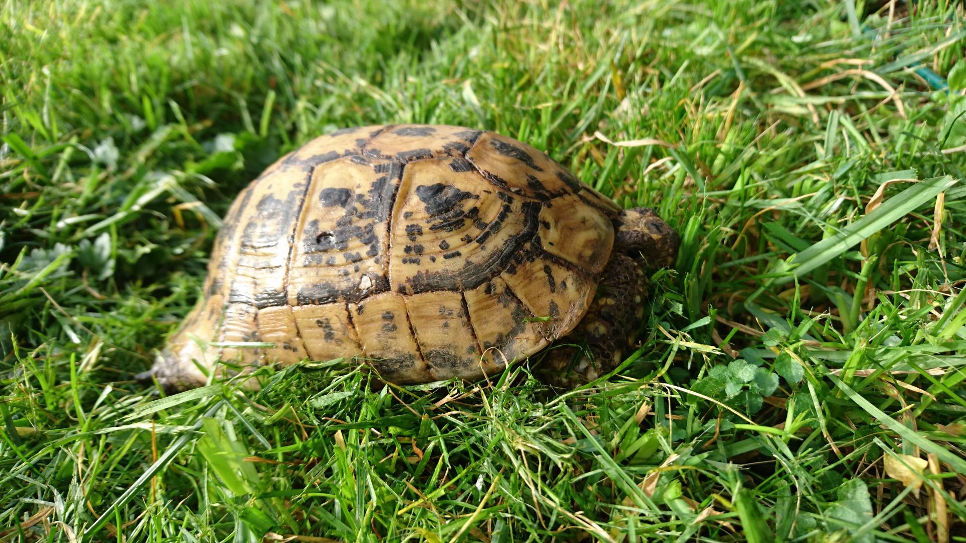 Quelle est la particularité de la tortue grecque ?