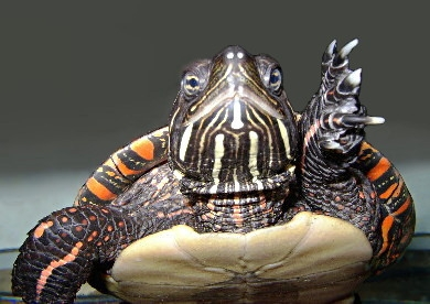 Us blm painted turtle picta pic2